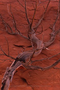 Tree Branch - Monument Valley