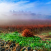 Foggy Vineyard