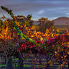 Sunset Vines
