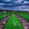 Rainy Days and Vineyards