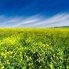 Mustard Blossom Fields Forever