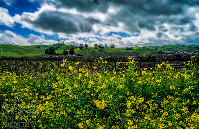 Mustard in the Vineyard