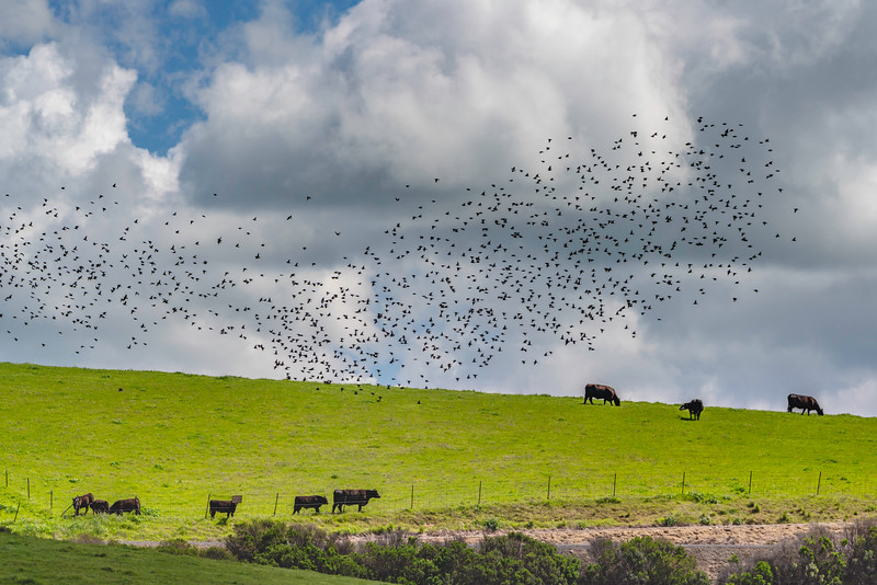 Starlings and Cows