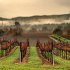 Vines and Fog