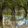 Flooded Almond Orchard
