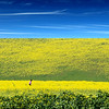 Mustard Field of Dreams