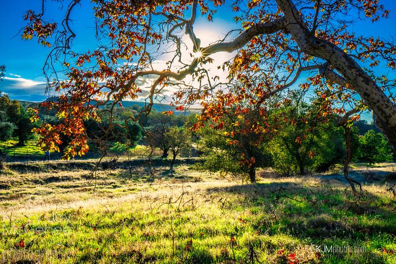 Sycamore Landscape