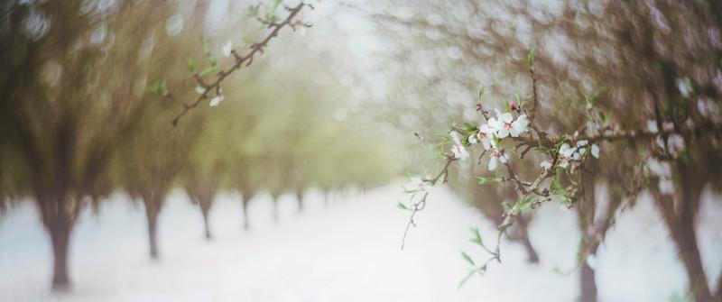 Almond Orchard Pano