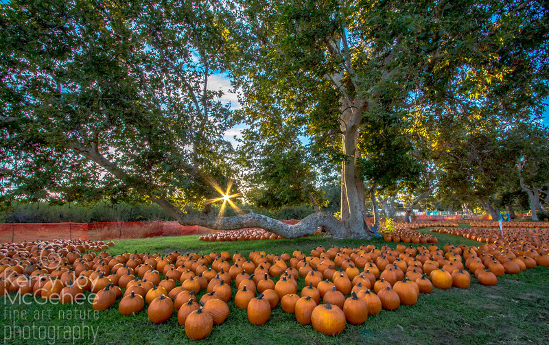 Sunrise Pumpkin Patch