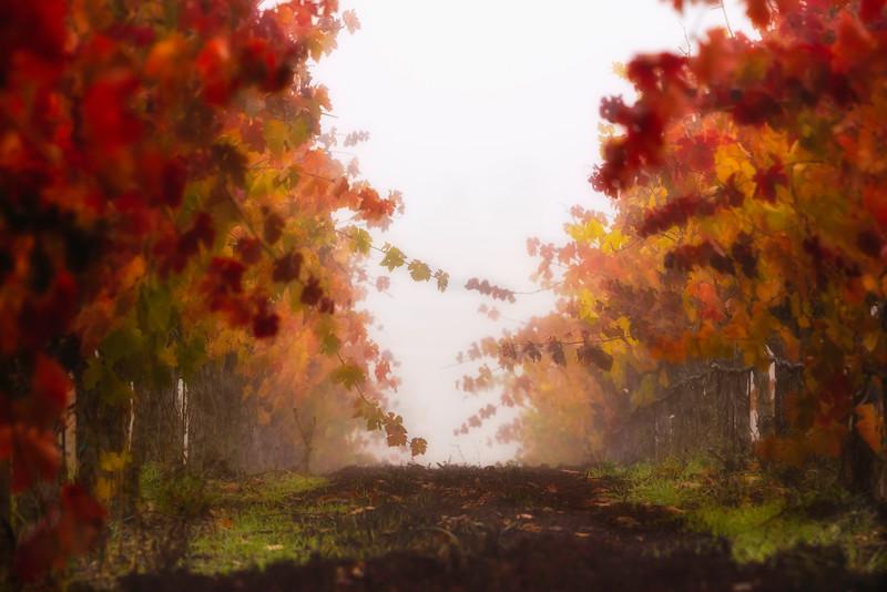Foggy Vine Path