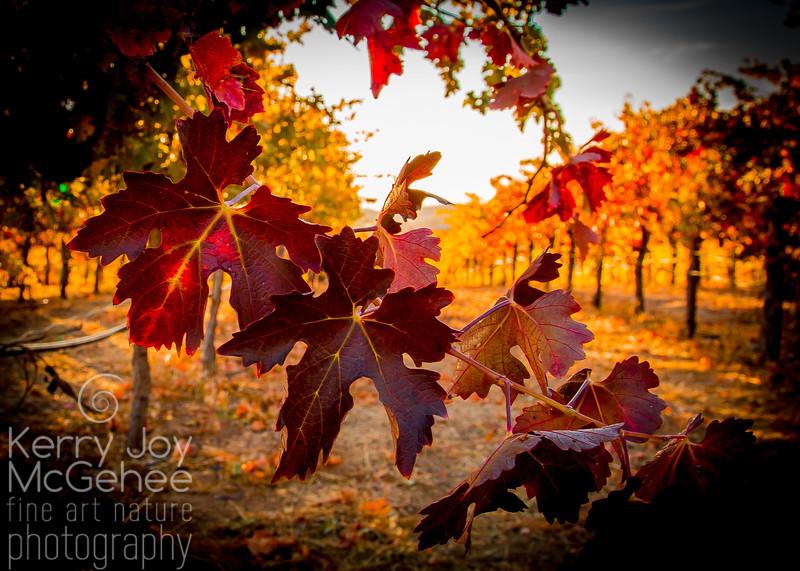 Fall Vineyard Leaves