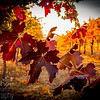 Fall Vineyard Leaves