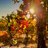 Fall Vine