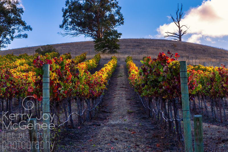 Sunlit Autumn Vineyard