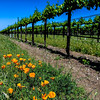 Poppies at Concannon Vineyards