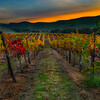 Tenuta Vineyard Sunset