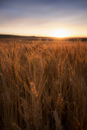 Glowing Grains - Airdrie, Alberta