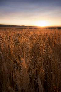 Glowing Grains - Airdrie, Alberta