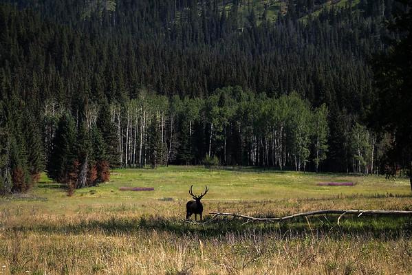 Solitary Elk