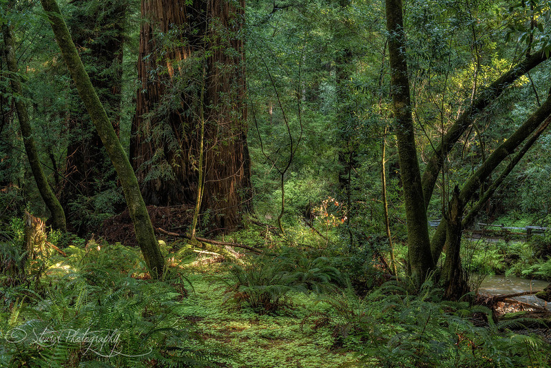 Light Play- Muir Woods National Monument, CA