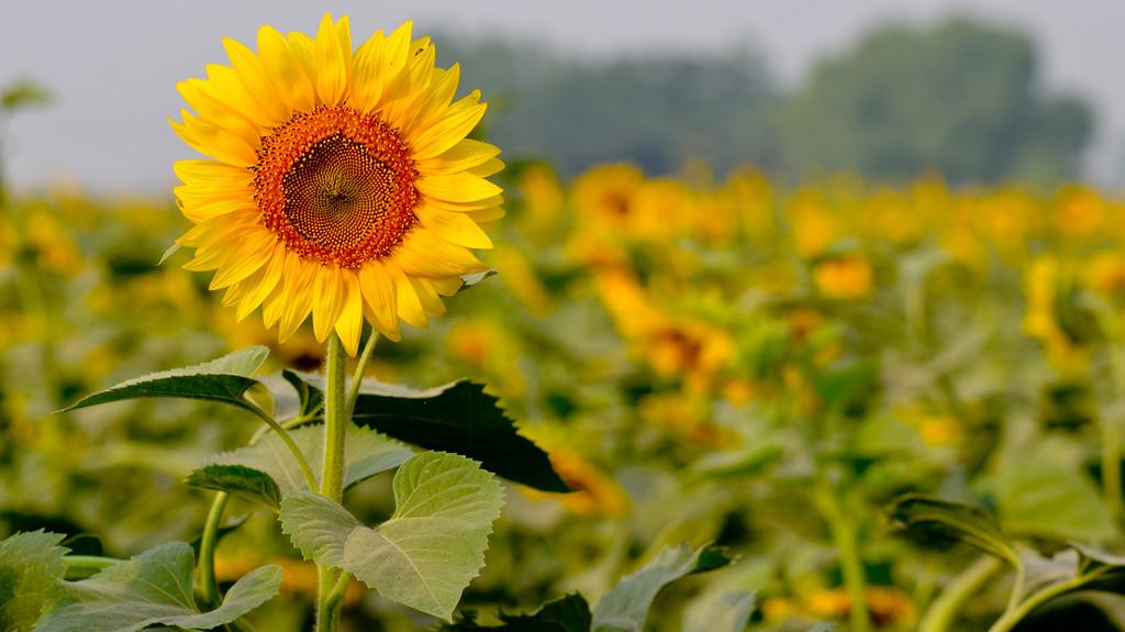 Sunflower. Pic taken near Chandigarh