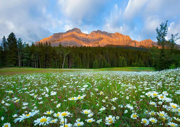 Ox Eye Meadow - Banff National Park, Alberta