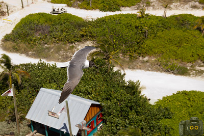 Bird flying over a Bahama island