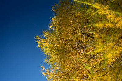 Tamarack Against the Sky 2
