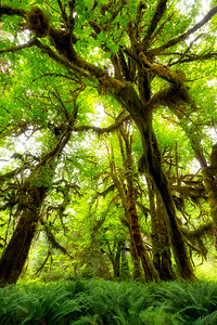 Hall of Mosses - Hoh Rainforest, Olympic National Park, WA, USA