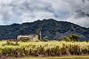 Kauai Sugar Cane Plant