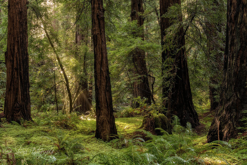 In the forest - Muir Woods National Monument, CA