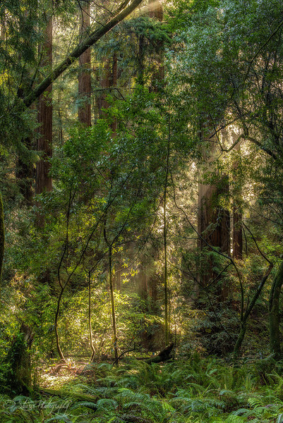 Ray of Light - Muir Woods National Monument, CA