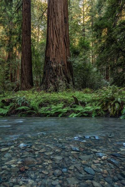 Redwood creek - Muir Woods National Monument, CA