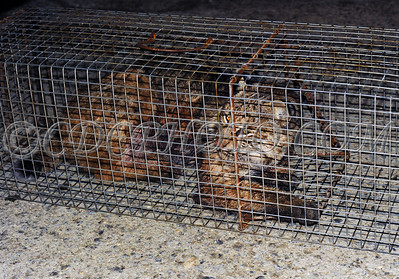 Injured Bobcat that was captured outside an apartment building in Millbrook NY