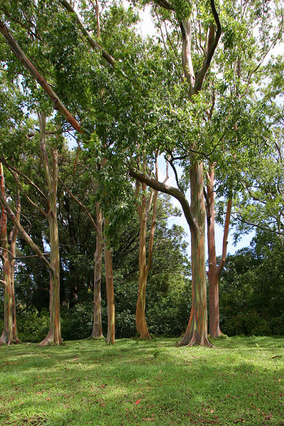 Rainbow Eucalyptus Trees, found on the toad to Hana, Maui, Hawii