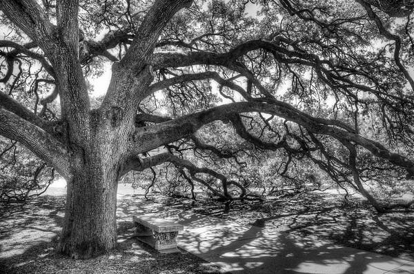 The Century Oak