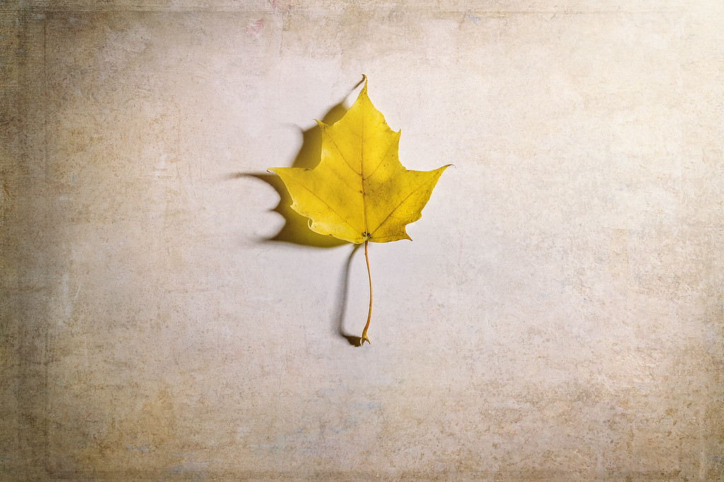 A Single Yellow Maple Leaf