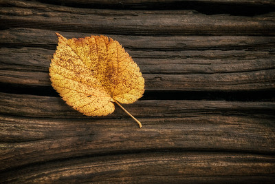 Single Yellow Birch Leaf