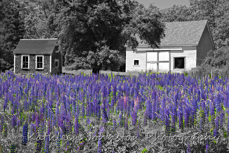 White barn in a field of Lupines, Maine