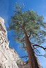 Tent Rocks, NM, pine tree,
