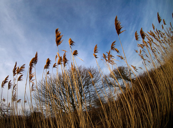 Phragmites at the shore