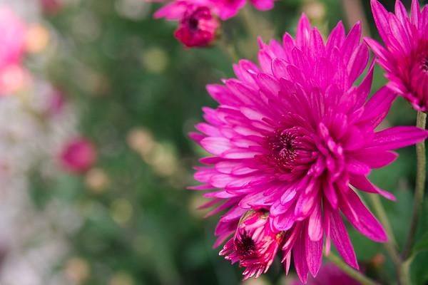 Magenta in Bloom