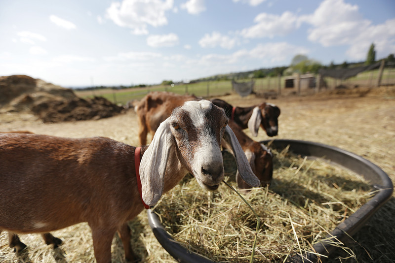 Goats are photographed at Heron Pond Farms in Spokane, Wash., on Friday, May 10, 2013. (Young Kwak/The Pacific Northwest Inlander)