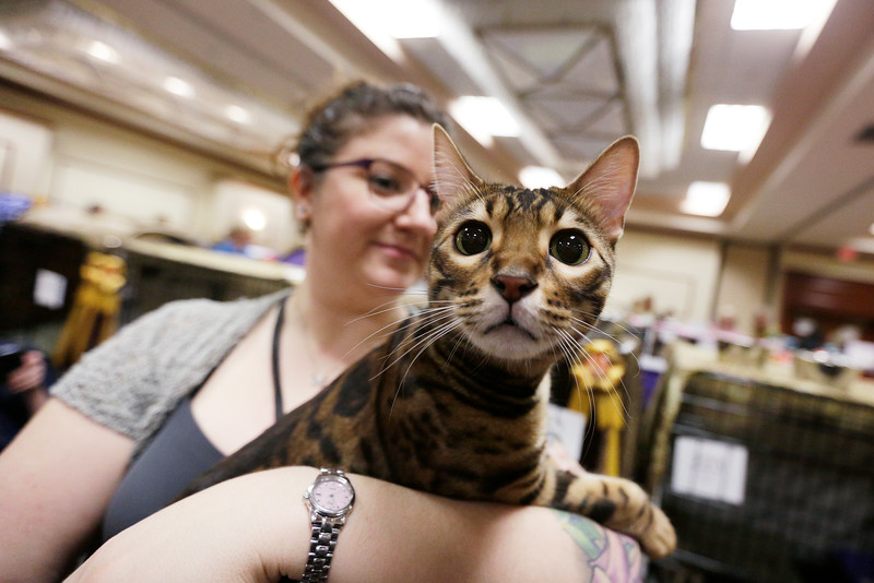"Gina Demmerly holds her 1 year and 3 month old Bengal cat Milo at the Evergreen Cat Fanciers ""On Safari 2016"" cat show, held at the DoubleTree by Hilton Spokane City Center, Saturday, Feb. 20, 2016, in Spokane, Wash. (Young Kwak/Pacific Northwest Inlander)"