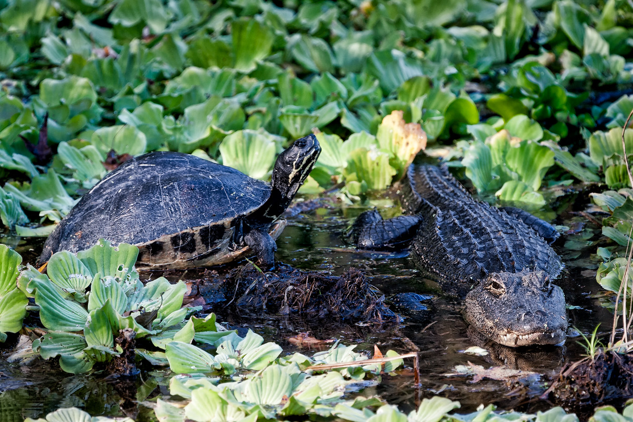 Turtle and gator