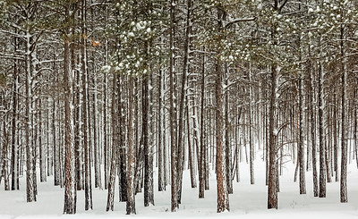 Snow Covered Ponderosa Pines