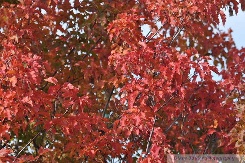 Fall Colours in Saskatoon