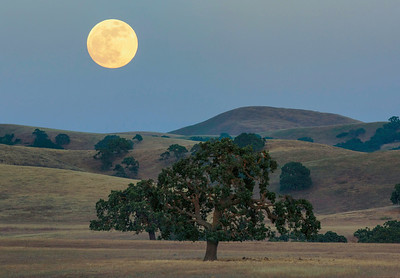 Moonrise Over Oaks