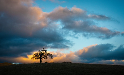 Lone Blue Oak Against Sunset Sky
