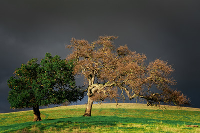 Valley Oak and Blue Oak, Santa Clara Valley